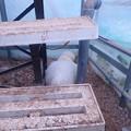 モフモフ産卵準備