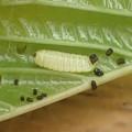 メスアカミドリシジミ幼虫 (2)