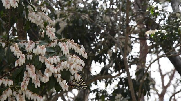 ギフチョウ(静岡県) (2)