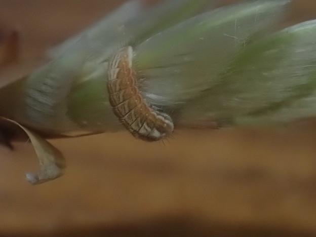 フジミドリシジミ