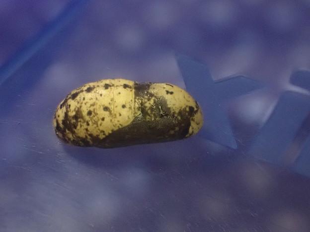 キリシマミドリシジミ蛹 (2)
