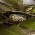 オオミドリシジミ蛹