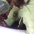 ギフチョウ幼虫 (1)