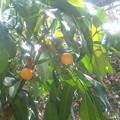 Photos: 卵の木(因島フラワーパーク)