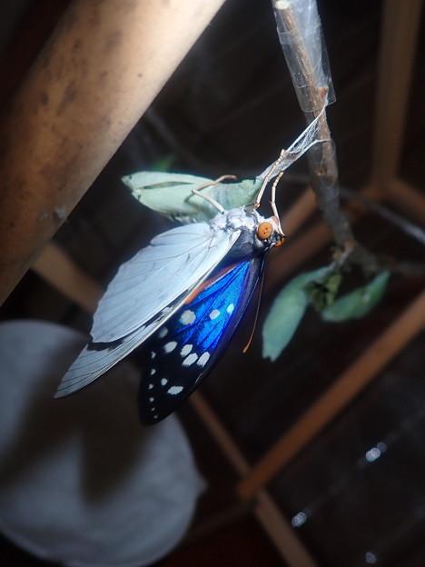 ブルーオオムラサキ♂羽化 (2)