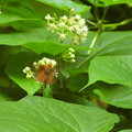 イケマで吸蜜するキバネセセリ(豊平峡) (1)