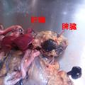 黒ピヨの解剖 (8)