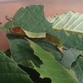 スミナガシ幼虫 (2)