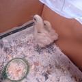 10月24日烏骨鶏雛