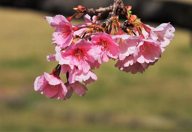 Photos: 陽光桜