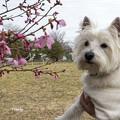 Photos: オカメ桜とはな