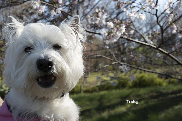 桜 咲きました