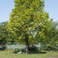 Photos: 大きな木の下に