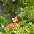 Photos: ザクロの花