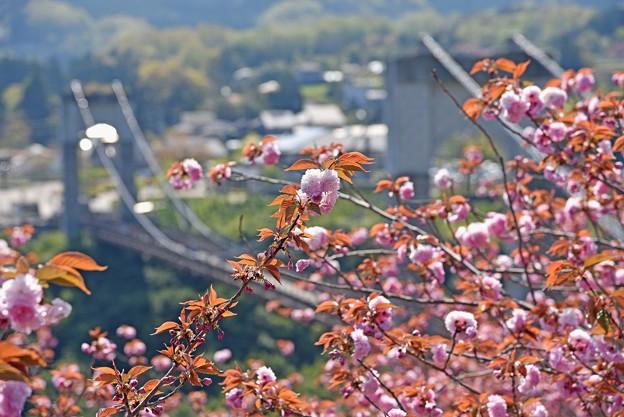 2021/04/11・・・満開の八重桜No01