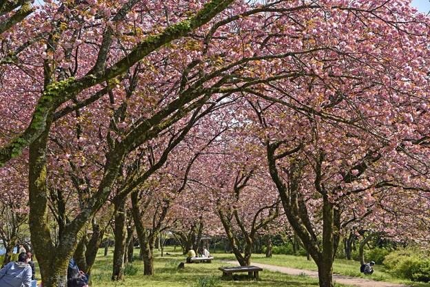 2021/04/11・・・満開の八重桜No02