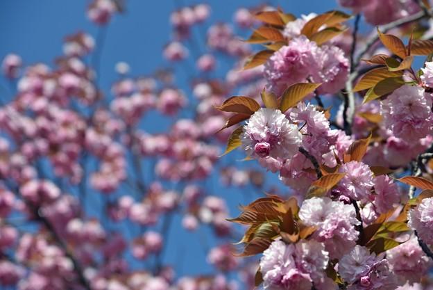 2021/04/11・・・満開の八重桜No03