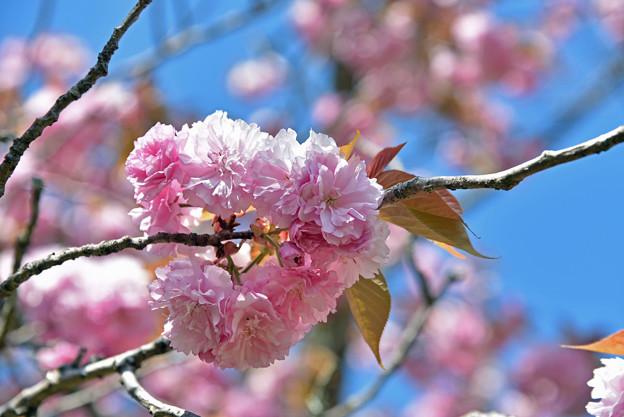 2021/04/11・・・満開の八重桜No04