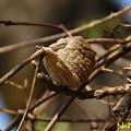 オオカマキリの卵嚢 04032021