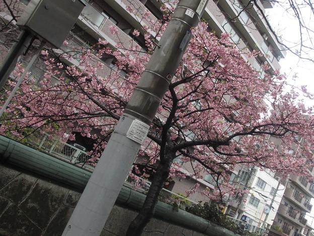 河津桜2021@えび210302