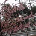 河津桜2021@さ210305