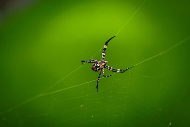女郎蜘蛛@川島