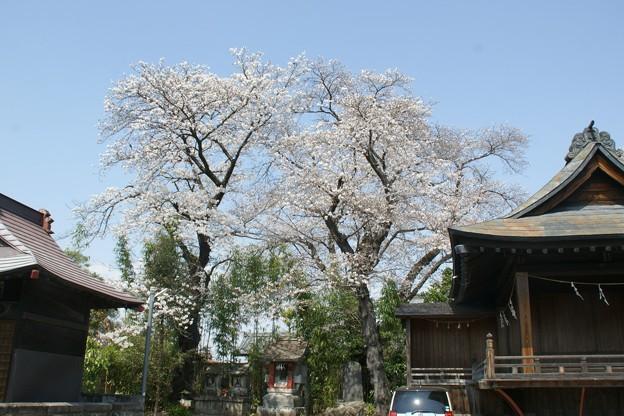 桂林寺の桜