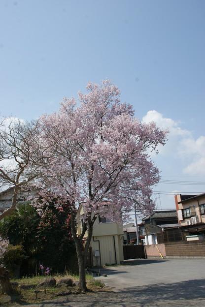 桂林寺の桜2