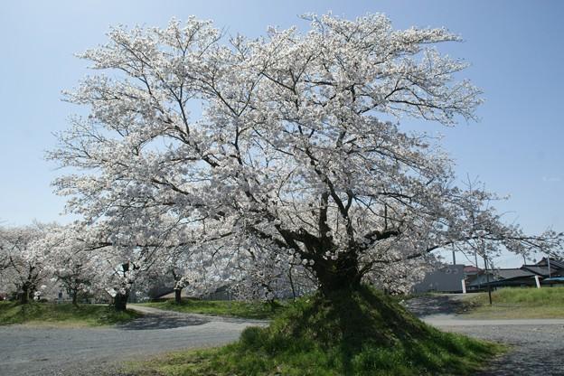 土盛りの上の桜