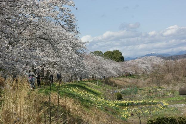外側からの桜並木