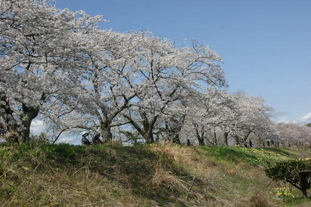 下から見た桜並木