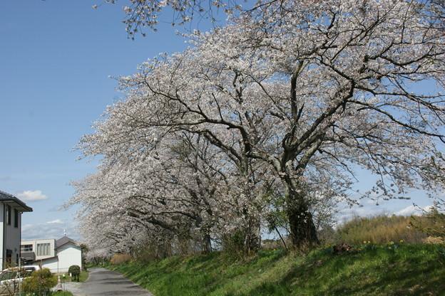 外側から見た桜並木2