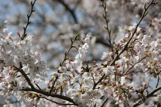 桜のアップ3
