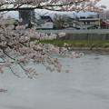 桜と北上川