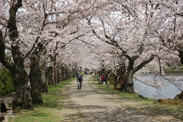 桜のトンネル2