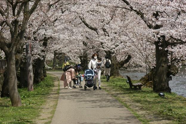 桜のトンネル3