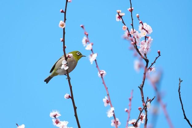 Photos: 2021.02.25 和泉川 梅にメジロ 雄蕊