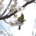 Photos: 2021.02.25 和泉川 梅とメジロ 春