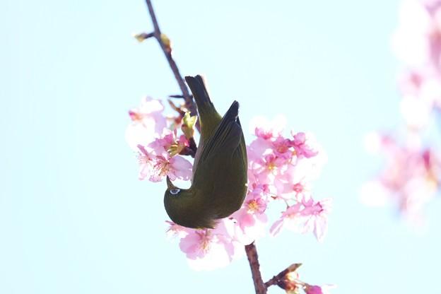 Photos: 2021.02.25 和泉川 河津桜でメジロ 嗜む