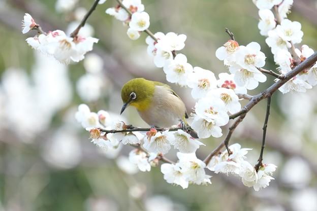 2021.02.25 和泉川 梅にメジロ 花弁