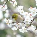 Photos: 2021.02.25 和泉川 梅にメジロ 花弁