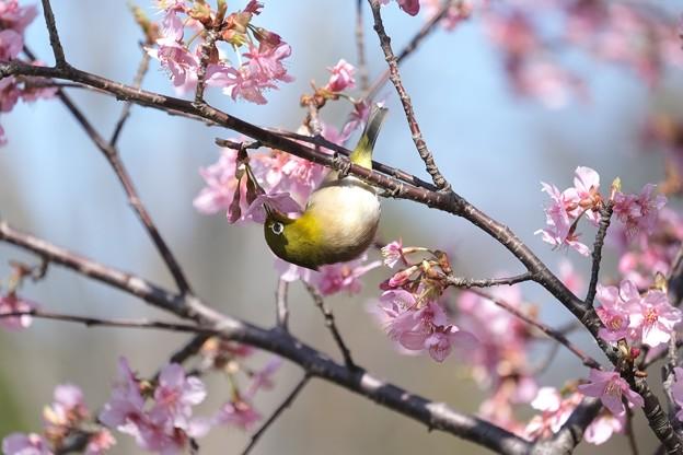 2021.02.25 和泉川 河津桜でメジロ 吸う