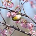 Photos: 2021.02.25 和泉川 河津桜でメジロ 吸う