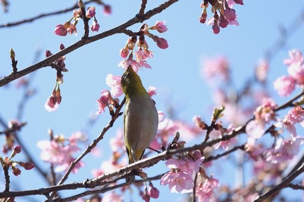 2021.02.25 和泉川 河津桜でメジロ 背伸び