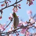 Photos: 2021.02.25 和泉川 河津桜でメジロ 背伸び