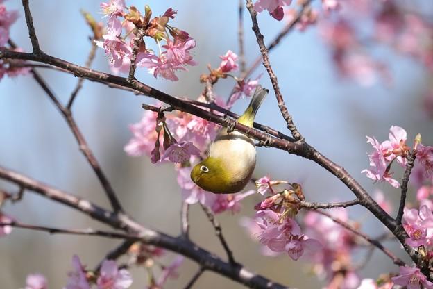 2021.02.25 和泉川 河津桜でメジロ あらよっと