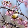 Photos: 2021.02.25 和泉川 河津桜でメジロ あらよっと