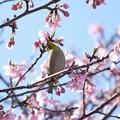 Photos: 2021.02.25 和泉川 河津桜でメジロ 春爛漫