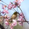 Photos: 2021.02.25 和泉川 河津桜でメジロ 一休み