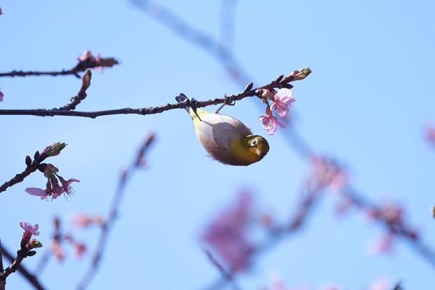 2021.02.25 和泉川 河津桜にメジロ